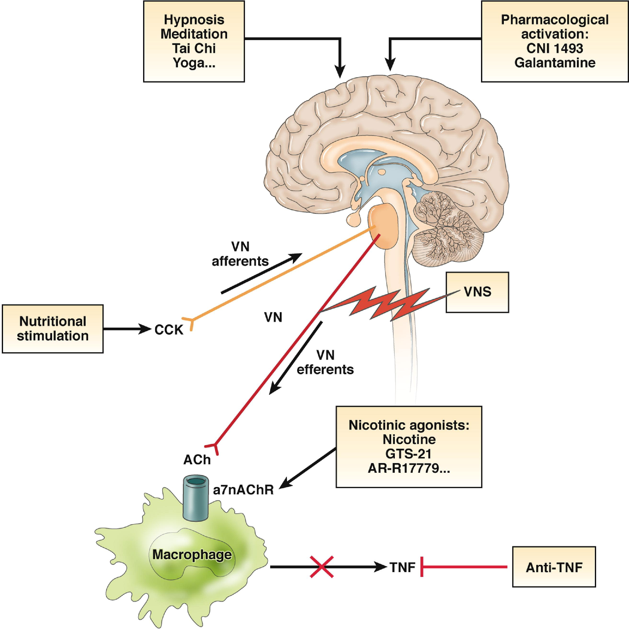 The Maxillary Nerve in addition Spip likewise 2016 08 Neuromorphic Mimics Important Brain Feature further Fulltext together with 8964658. on brain neural system