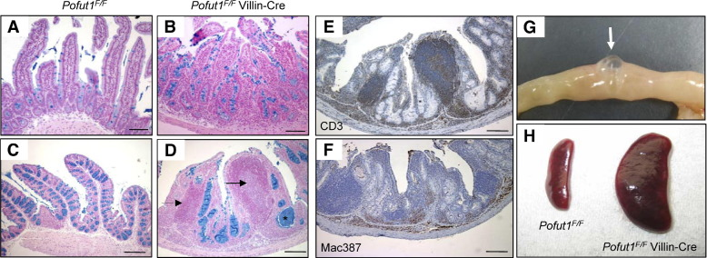 Intestinal Deletion Of Pofut1 In The Mouse Inactivates