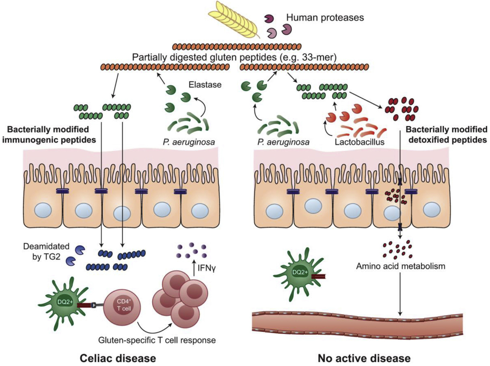 how bacteria can affect humans and How bacteria can affect the lives of humans and other organisms bacteria can enter the body in 3 different ways through the gas exchange system, by breathing in pathogens, most are trapped in the mucus lining in the lung epithelium.