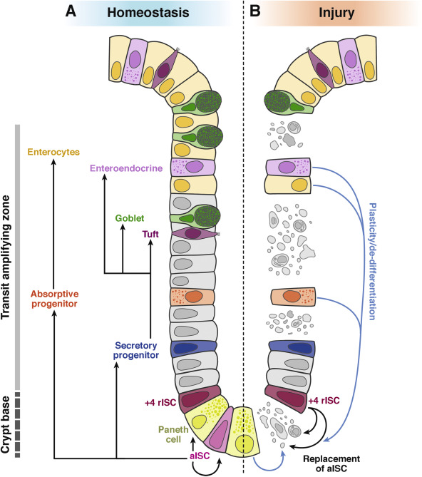 Reserve Stem Cells In Intestinal Homeostasis And Injury